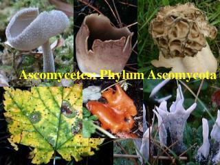 Ascomycetes: Phylum Ascomycota