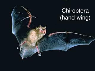 Chiroptera  (hand-wing)