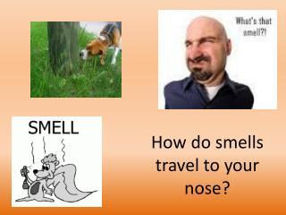 How do smells  travel to your nose?