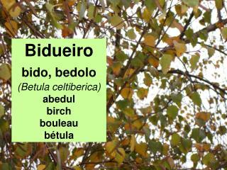Bidueiro bido, bedolo (Betula celtiberica) abedul birch bouleau bétula