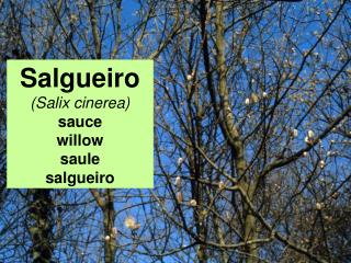 Salgueiro (Salix cinerea) sauce willow saule salgueiro