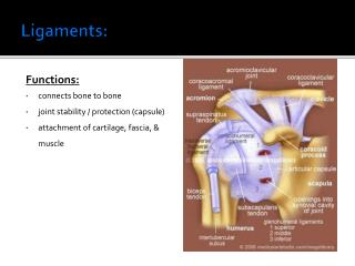 Ligaments: