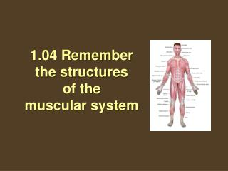 1.04 Remember the structures  of the  muscular system