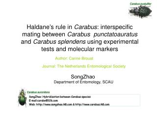 Haldane's rule in  Carabus : interspecific mating between  Carabus  punctatoauratus  and  Carabus splendens  using expe