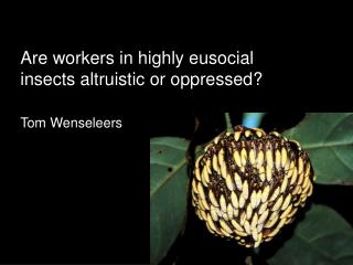 Are workers in highly eusocial insects altruistic or oppressed? Tom Wenseleers