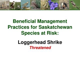 Beneficial Management Practices for Saskatchewan Species at Risk: Loggerhead Shrike Threatened