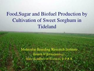 Food,Sugar and Biofuel Production by Cultivation of Sweet Sorghum in Tideland