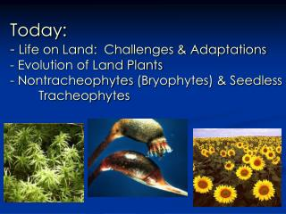 Today: -  Life on Land:  Challenges & Adaptations - Evolution of Land Plants -  Nontracheophytes  (Bryophytes) & Seedle