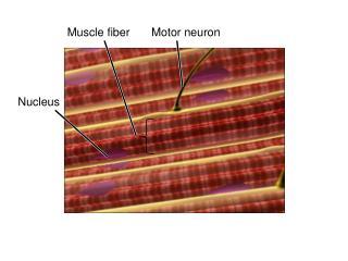 Muscle fiber