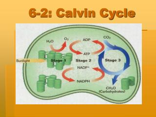 6-2: Calvin Cycle