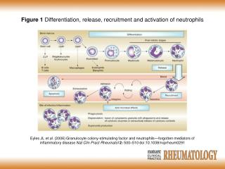 Figure 1  Differentiation, release, recruitment and activation of neutrophils