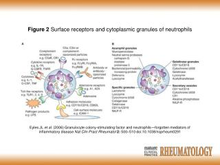 Figure 2  Surface receptors and cytoplasmic granules of neutrophils