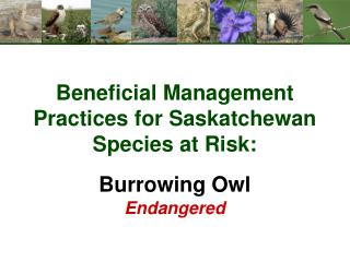 Beneficial Management Practices for Saskatchewan Species at Risk: Burrowing Owl Endangered