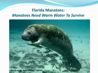 Florida Manatees: Manatees Need Warm Water To Survive