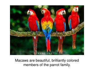 Macaws are beautiful, brilliantly colored members of the parrot family.