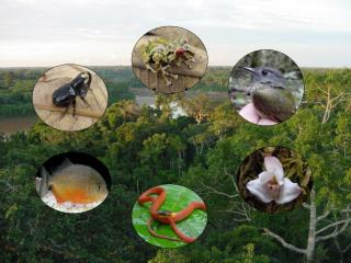 Physalaemus petersi Geographic variation in Male Calls and Female Preferences