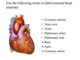 Use the following terms to label external heart anatomy