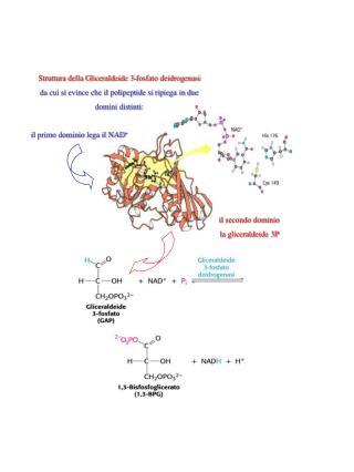 Struttura della Gliceraldeide 3-fosfato deidrogenasi da cui si evince che il polipeptide si ripiega in due  domini dist