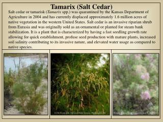 Tamarix (Salt Cedar)