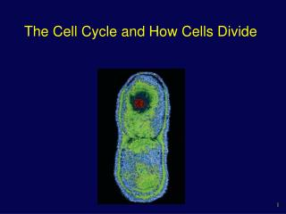 The Cell Cycle and How Cells Divide