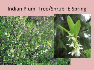 Indian Plum- Tree/Shrub- E Spring