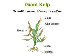 Giant Kelp Scientific name: Macrocystis pyrifera