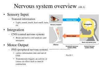 Nervous system overview  (48.1)