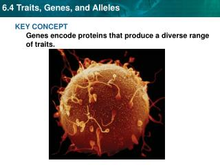KEY CONCEPT  Genes encode proteins that produce a diverse range of traits.