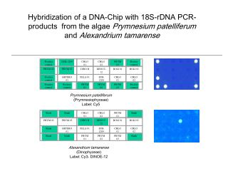 Hybridization of a DNA-Chip with 18S-rDNA PCR-products  from the algae  Prymnesium patelliferum