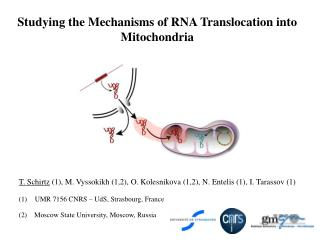 Studying the Mechanisms of RNA Translocation into Mitochondria
