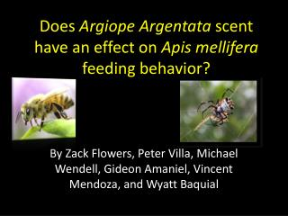 Does  Argiope Argentata  scent have an effect on  Apis mellifera  feeding behavior?