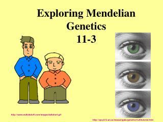 Exploring Mendelian Genetics 11-3