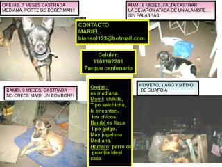 OREJAS, 7 MESES CASTRADA MEDIANA, PORTE DE DOBERMAN!!