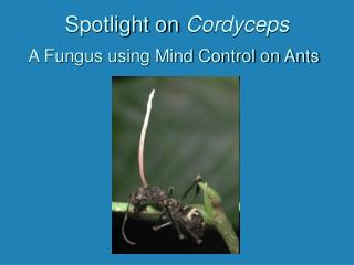 Spotlight on  Cordyceps