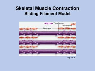 Skeletal Muscle Contraction Sliding Filament Model
