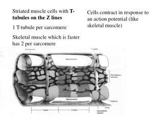 Striated muscle cells with  T- tubules on the Z lines 1 T-tubule per sarcomere