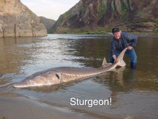 Sturgeon!