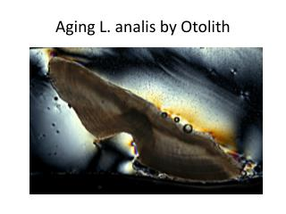 Aging L.  analis  by  Otolith