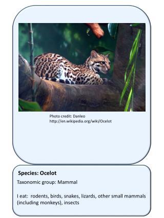Species: Ocelot