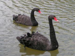The Black Swan Theory