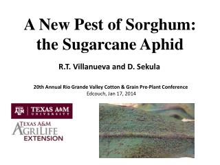 A New Pest  of Sorghum:  the  Sugarcane  Aphid