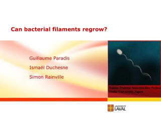 Can  bacterial  filaments  regrow ?