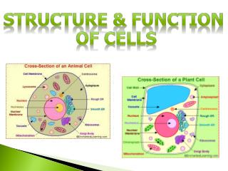 Structure & Function  of Cells