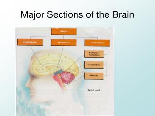 Major Sections  of the Brain