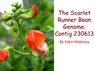The Scarlet Runner Bean Genome: Contig 230613