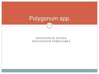 Polygonum  spp .