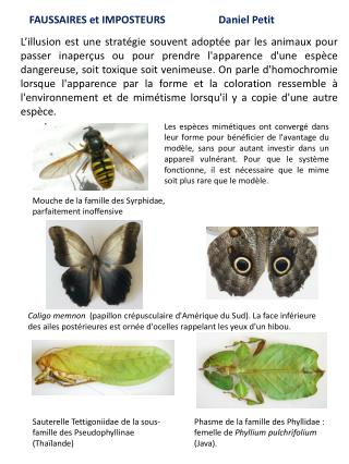 Sauterelle Tettigoniidae de la sous-famille des  Pseudophyllinae (Thaïlande)