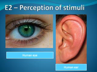 E2 – Perception of stimuli