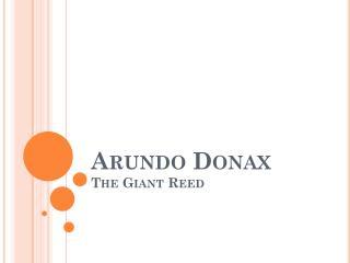 Arundo Donax The Giant Reed