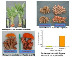 Fig.  Curcumin  content in Okinawa turmeric  (L) and  Ryudai  gold (R)